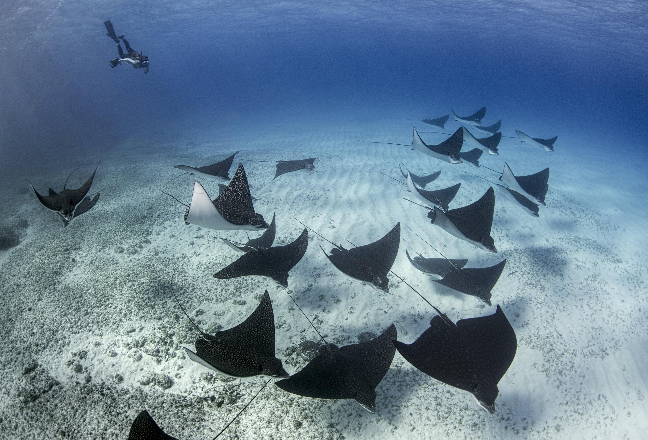 eagle ray school credit: amanda cotton / coral reef image bank