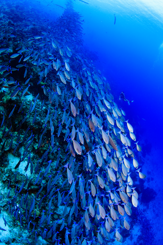 school of red fish amanda cotton / coral reef image bank