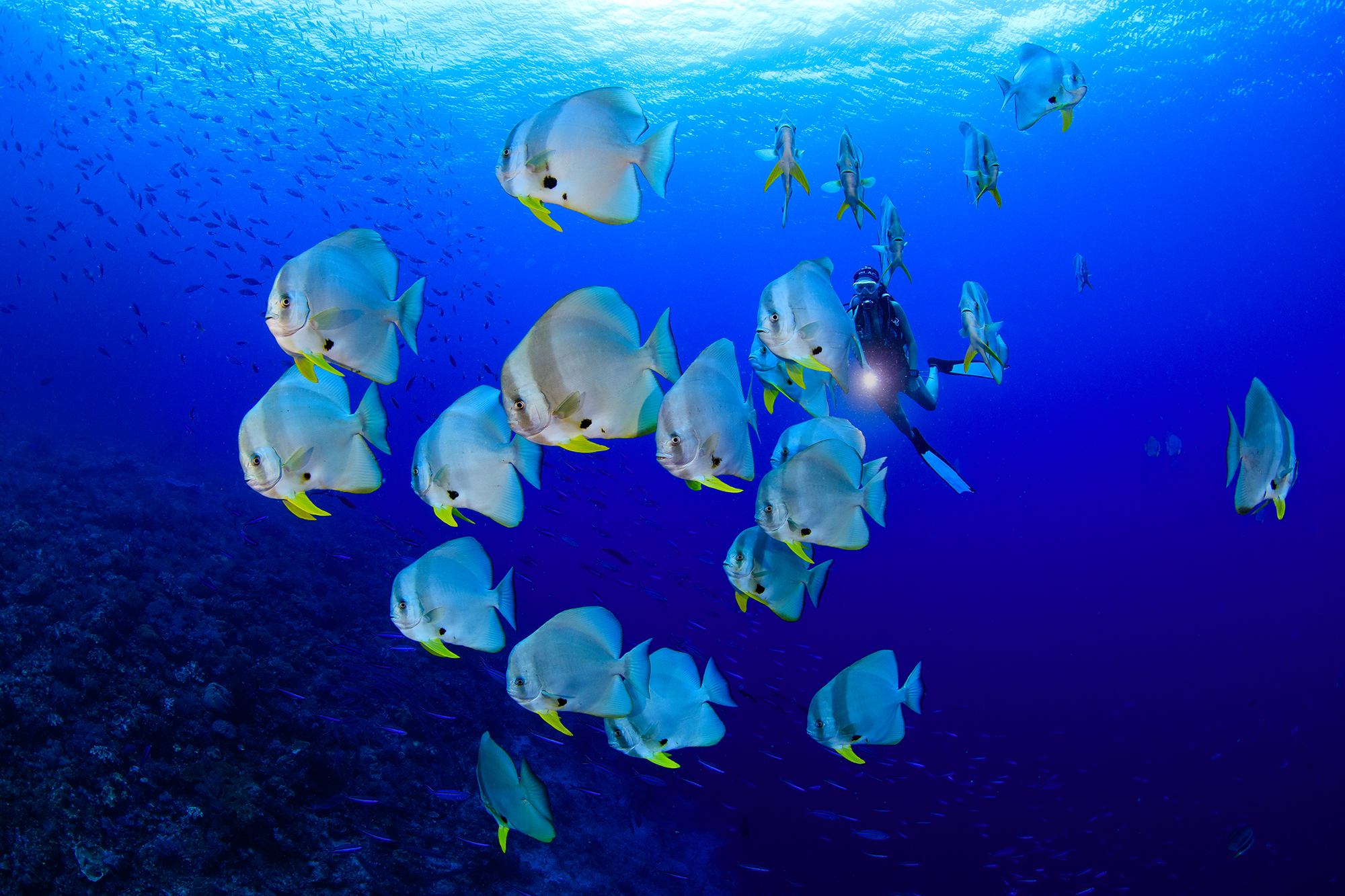 batfish in RAJA AMPAT, INDONESIA CREDIT: YEN-YI LEE / CORAL REEF IMAGE BANK