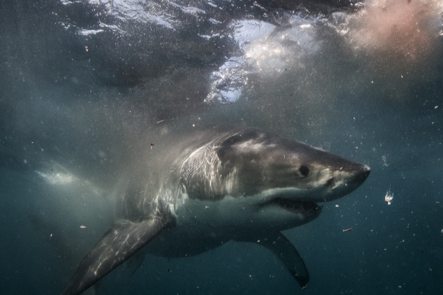 great white shark, south africa credit: jeff hester / coral reef image bank