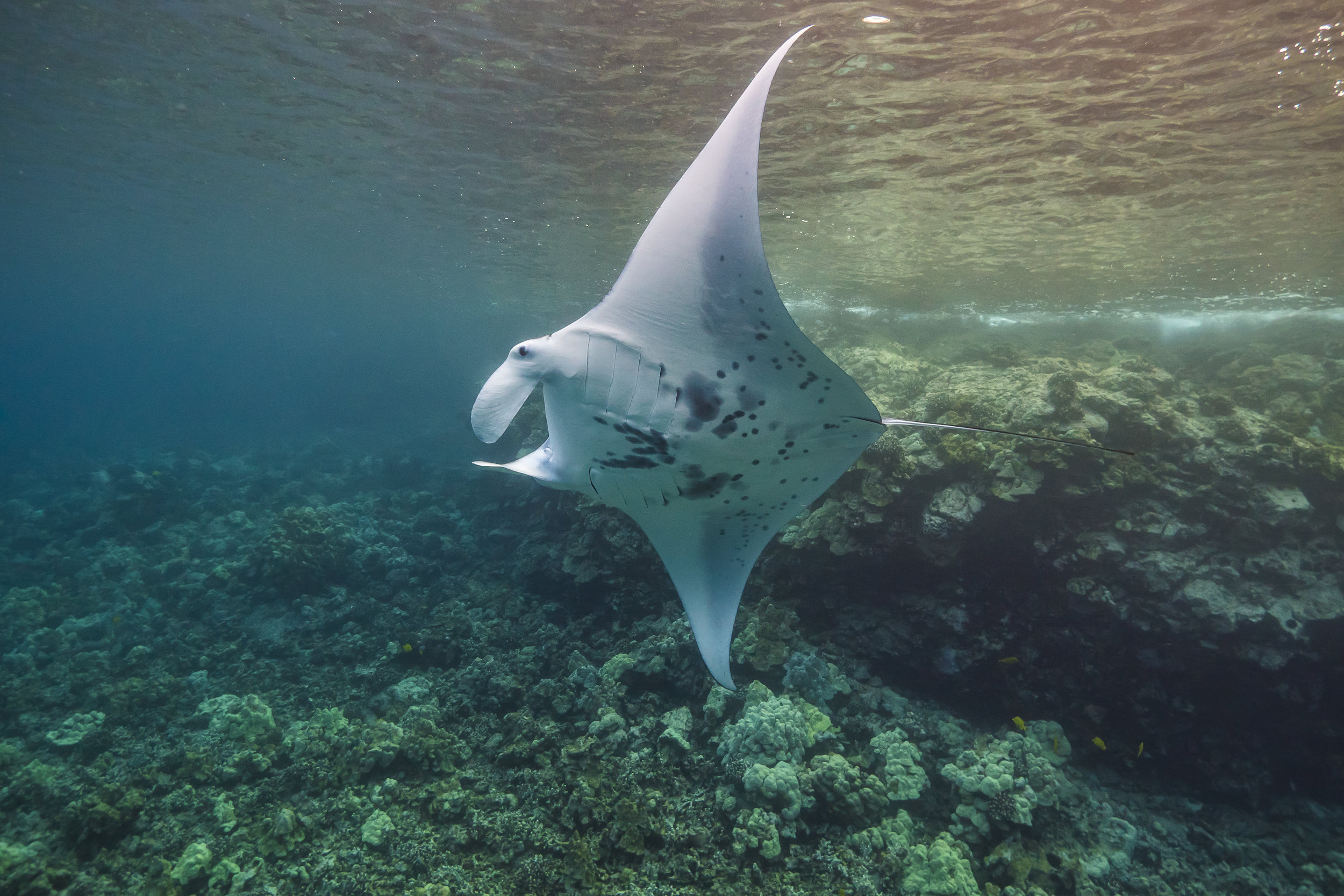 manta ray credit: jeff hester / coral reef image bank