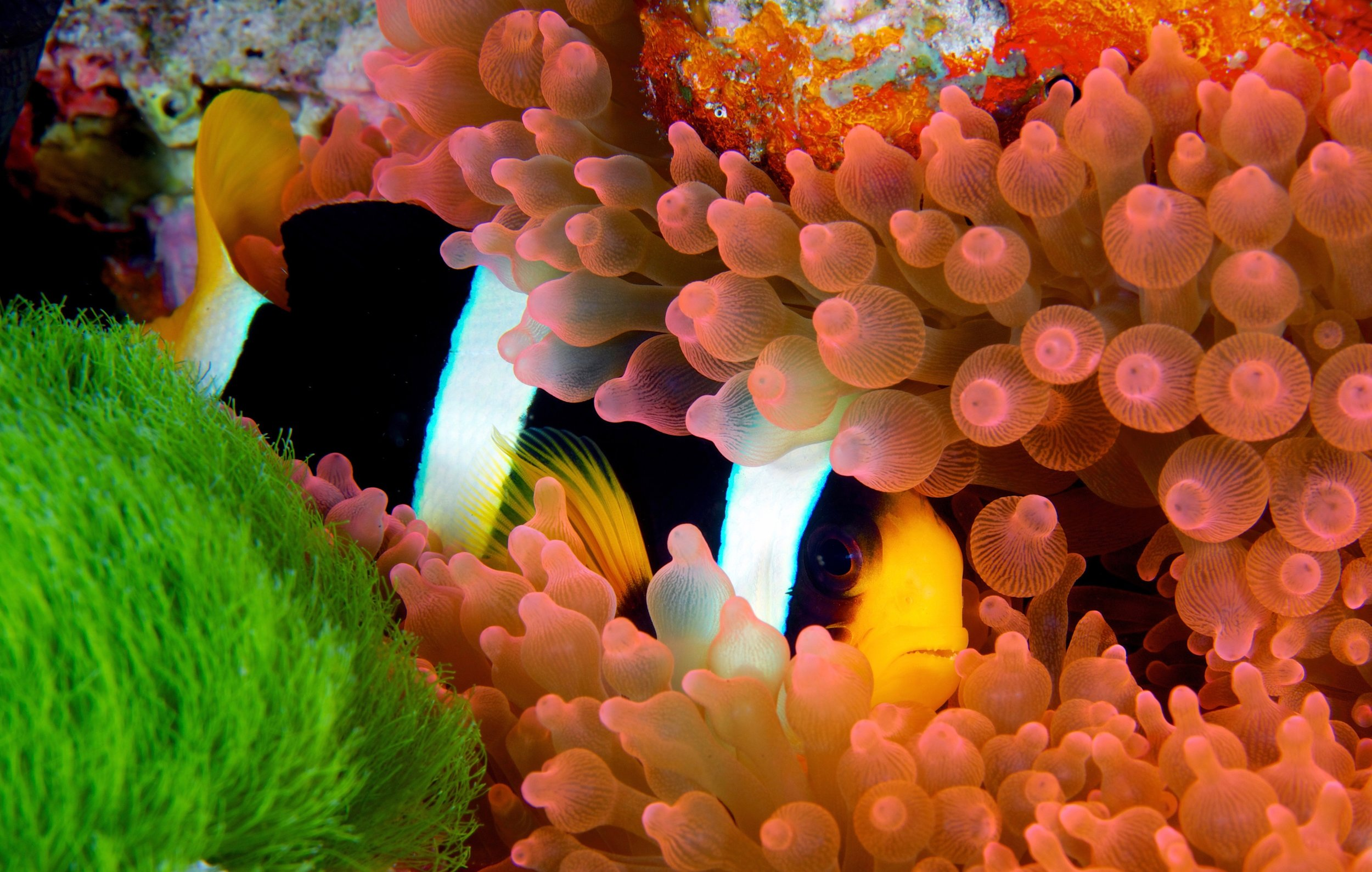 clownfish in raja ampat credit: gregory piper / coral reef image bank
