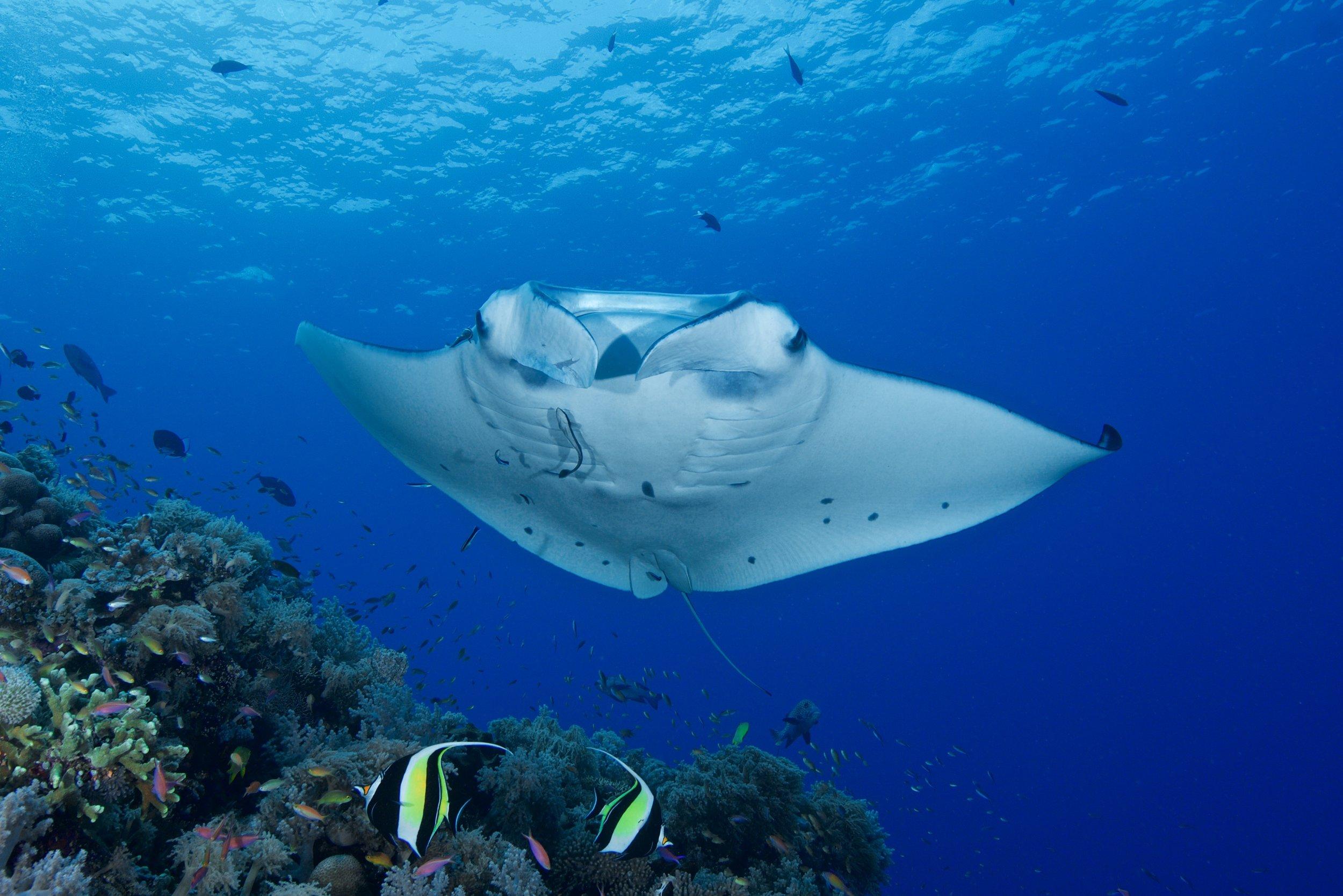 manta ray credit: gregory Piper / coral reef image bank