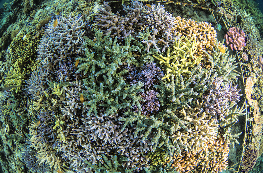 coral grows off a reef in indonesia credit: Martin Colognoli / coral reef image bank