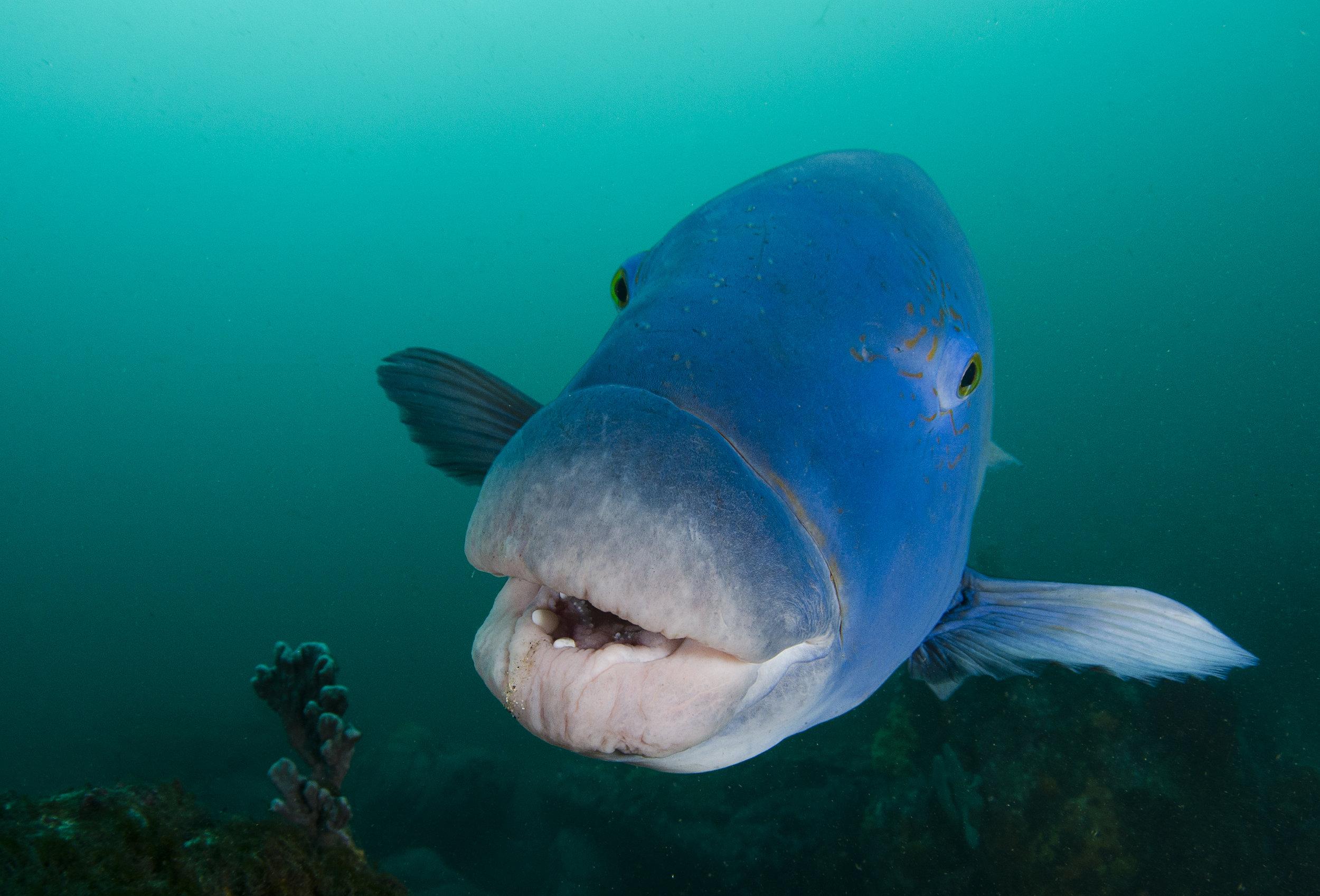 blue wrasse credit: amanda cotton / coral reef image bank