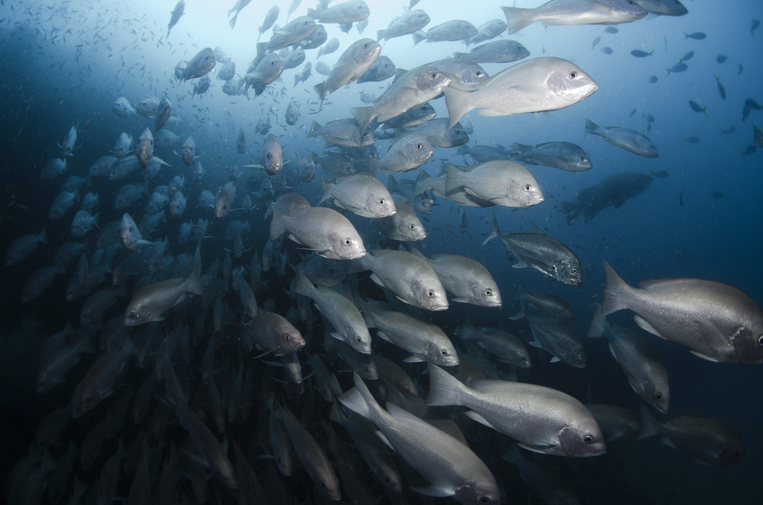school of snapper amanda cotton / coral reef image bank