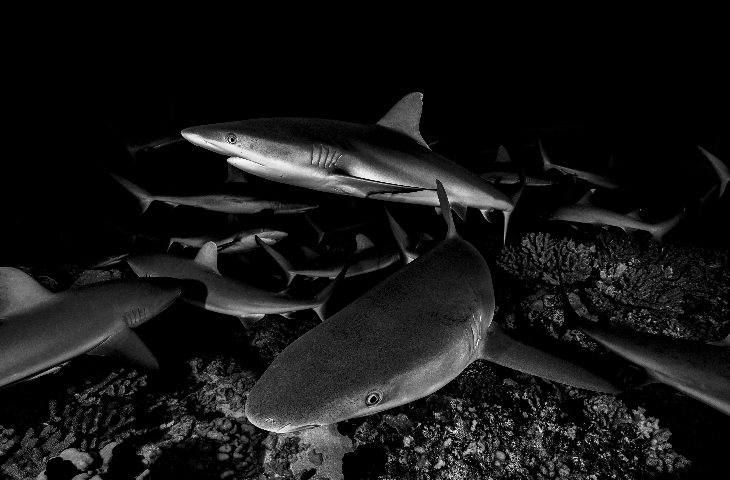 sharks in fakarava, french polynesia credit: hannes klostermann / coral reef image bank