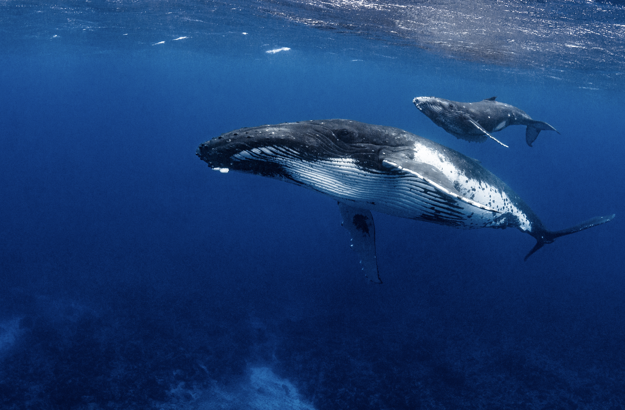 humpback mother and calf in french polynesia credit: hannes klostermann / coral reef image bank