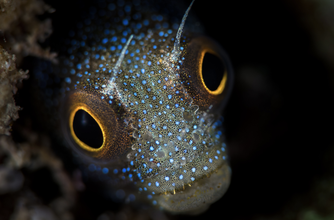 blenny in the Sea of Cortez credit: hannes klostermann / coral reef image bank