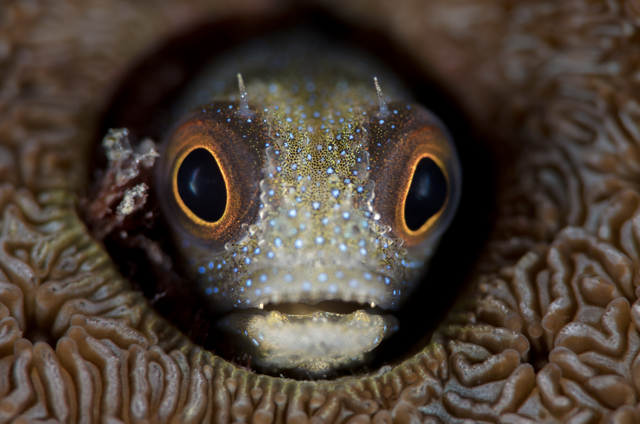 blenny credit: hannes klostermann / coral reef image bank