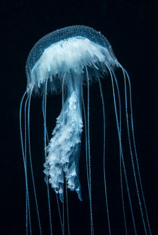 Jellyfish Vertical credit: richard barnden / coral reef image bank