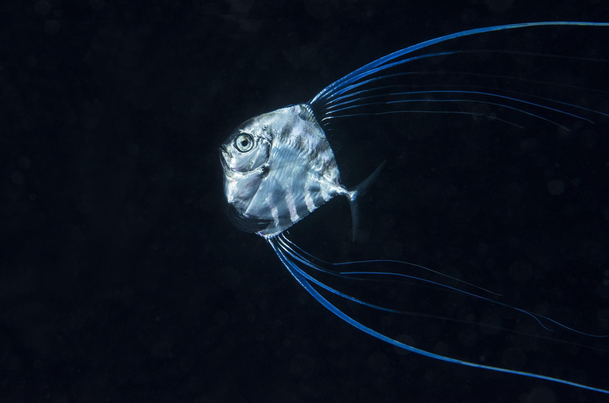 Juvenile African Popamo credit: richard barnden / coral reef image bank
