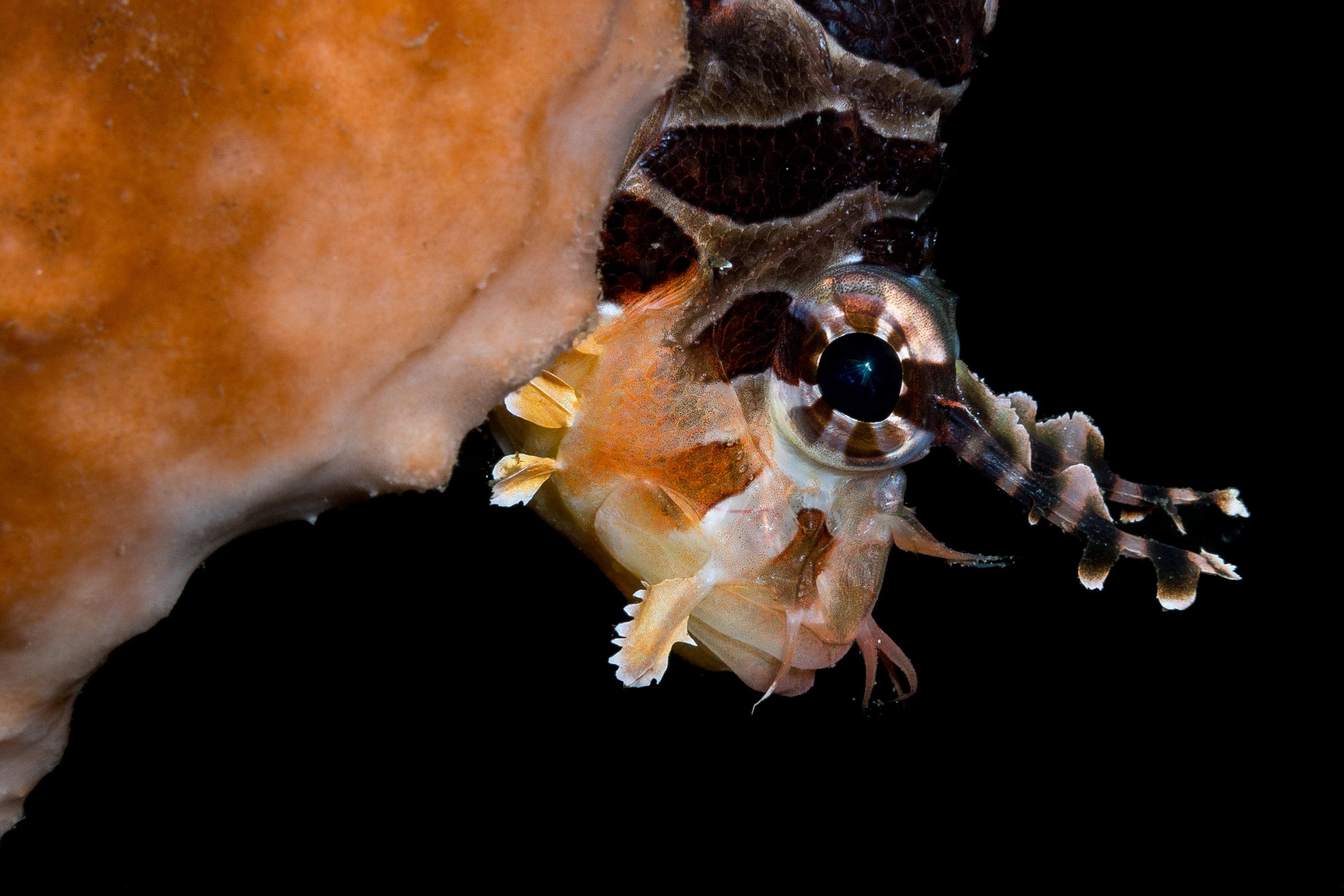 Lion fish  credit: wojtek Meczynski / coral reef image bank