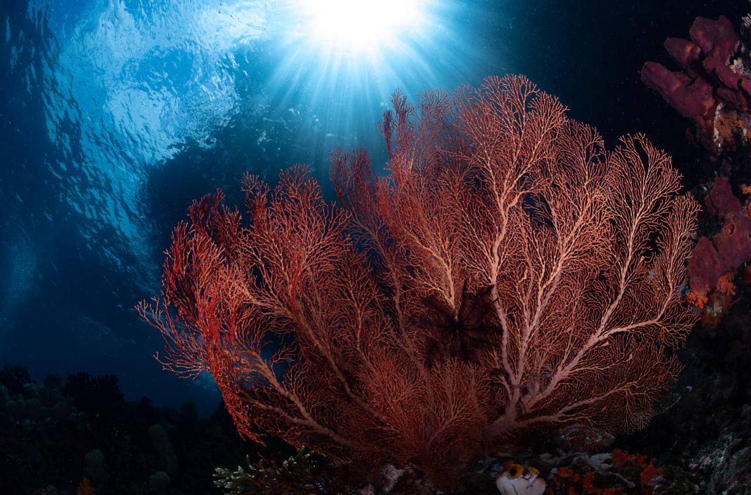sea fans, raja ampat credit: tracey jennings / coral reef image bank