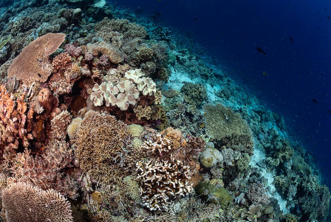 healthy reef, raja ampat credit: tracey jennings / coral reef image bank