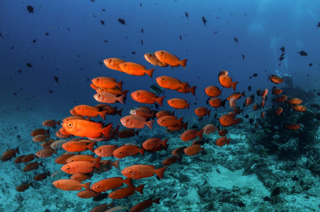 schooling fish, raja ampat credit: tracey Jennings / coral reef image bank