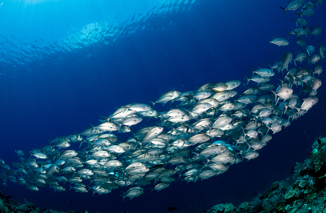 schooling trevally, raja ampat credit: tracey Jennings / coral reef image bank