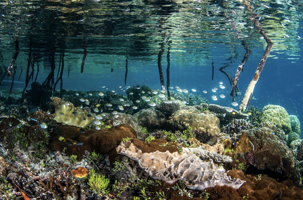 raja ampat mangroves CREDIT: brook peterson / coral reef image bank