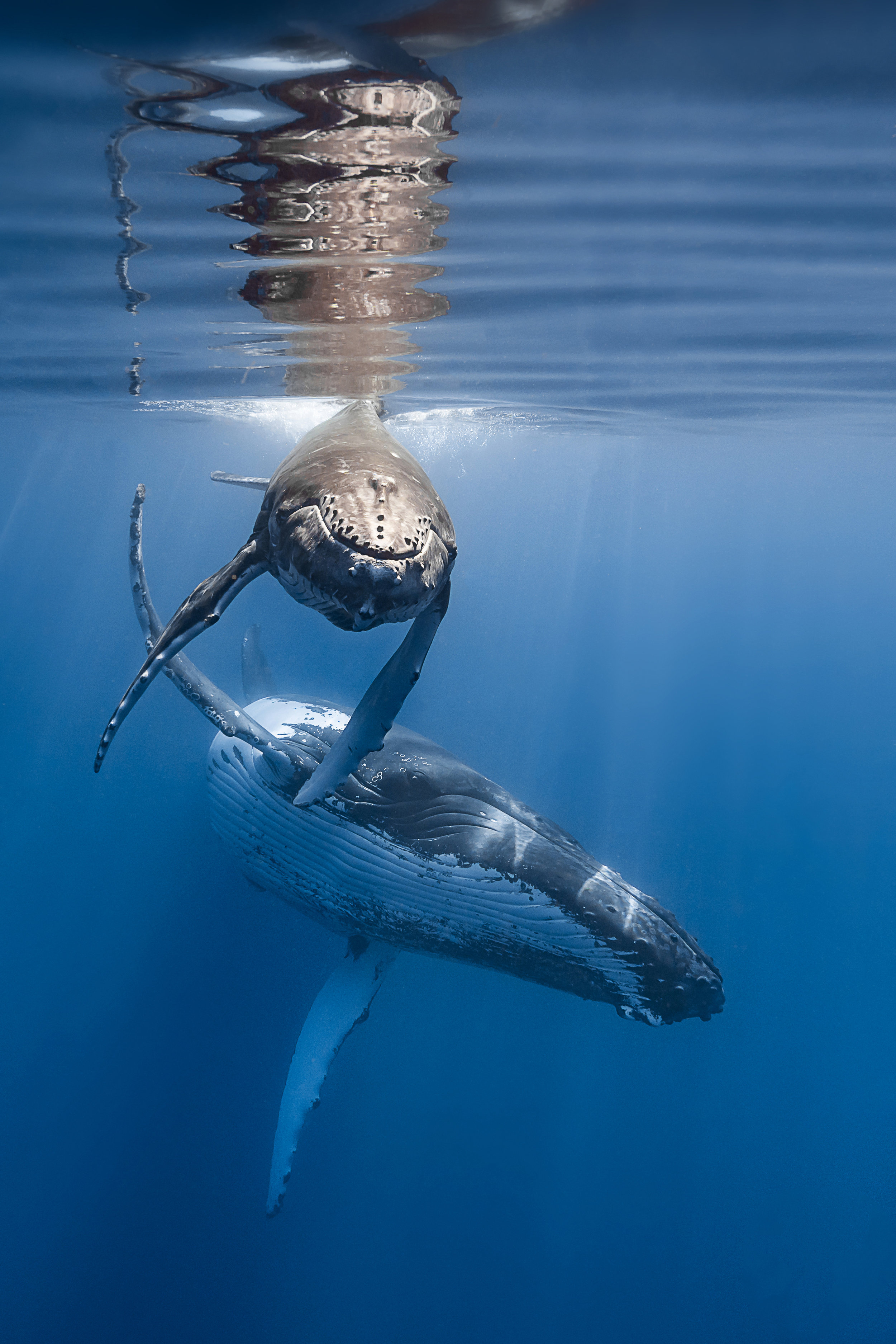 humpbacks credit: François Baelen / coral reef image bank