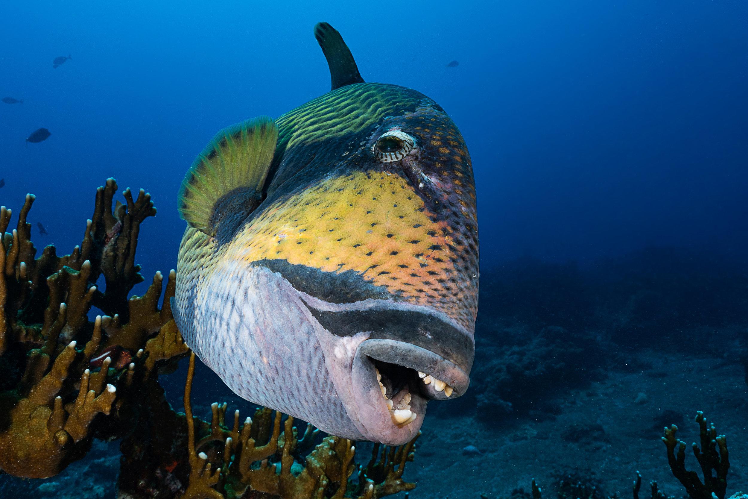 triggerfish credit: François Baelen / coral reef image bank