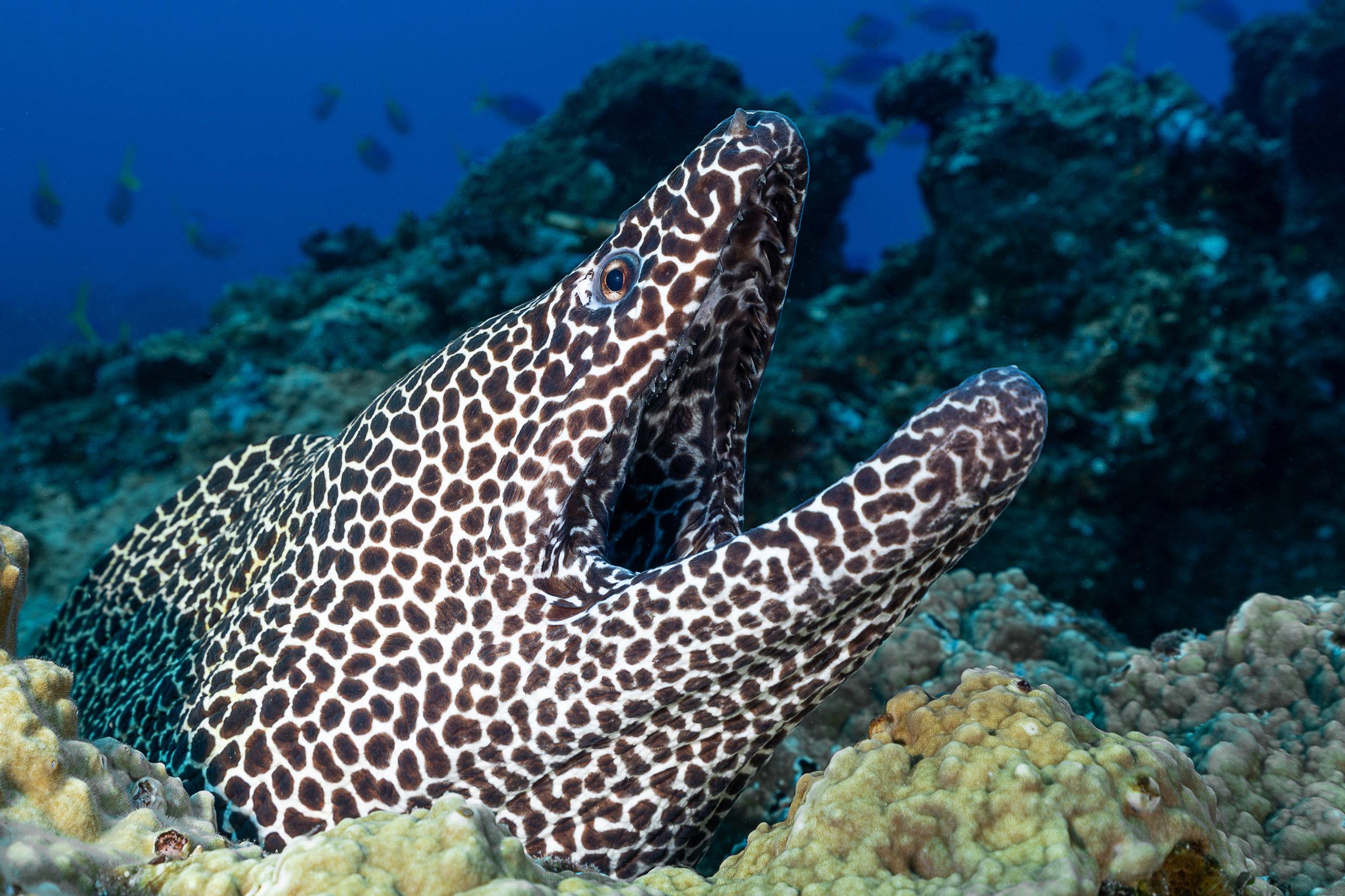 moray eel credit: François Baelen / coral reef image bank