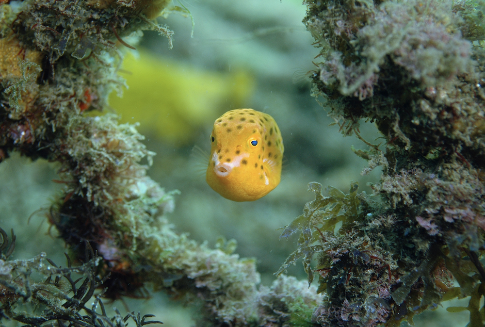 juvenile trunkfish credit: the ocean agency / coral reef image bank