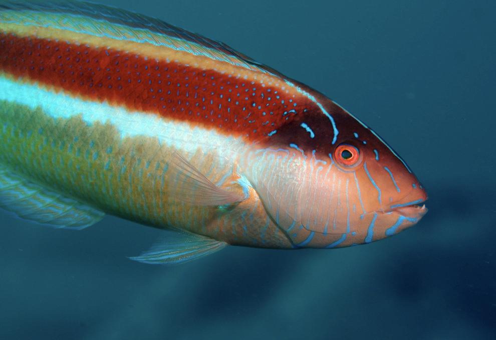wrasse credit: the ocean agency / coral reef image bank