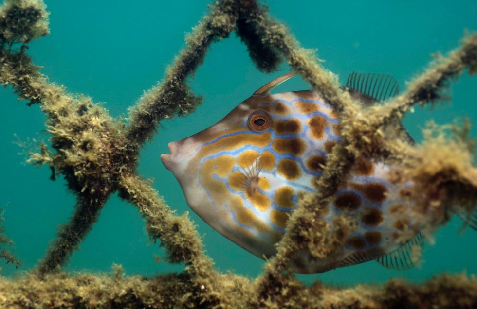 scrawled filefish credit: the ocean agency / coral reef image bank
