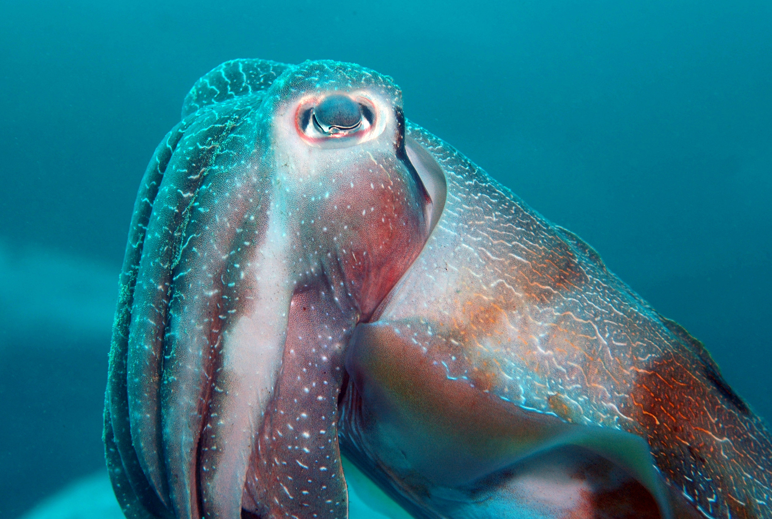 cuttlefish  credit: the ocean agency / coral reef image bank