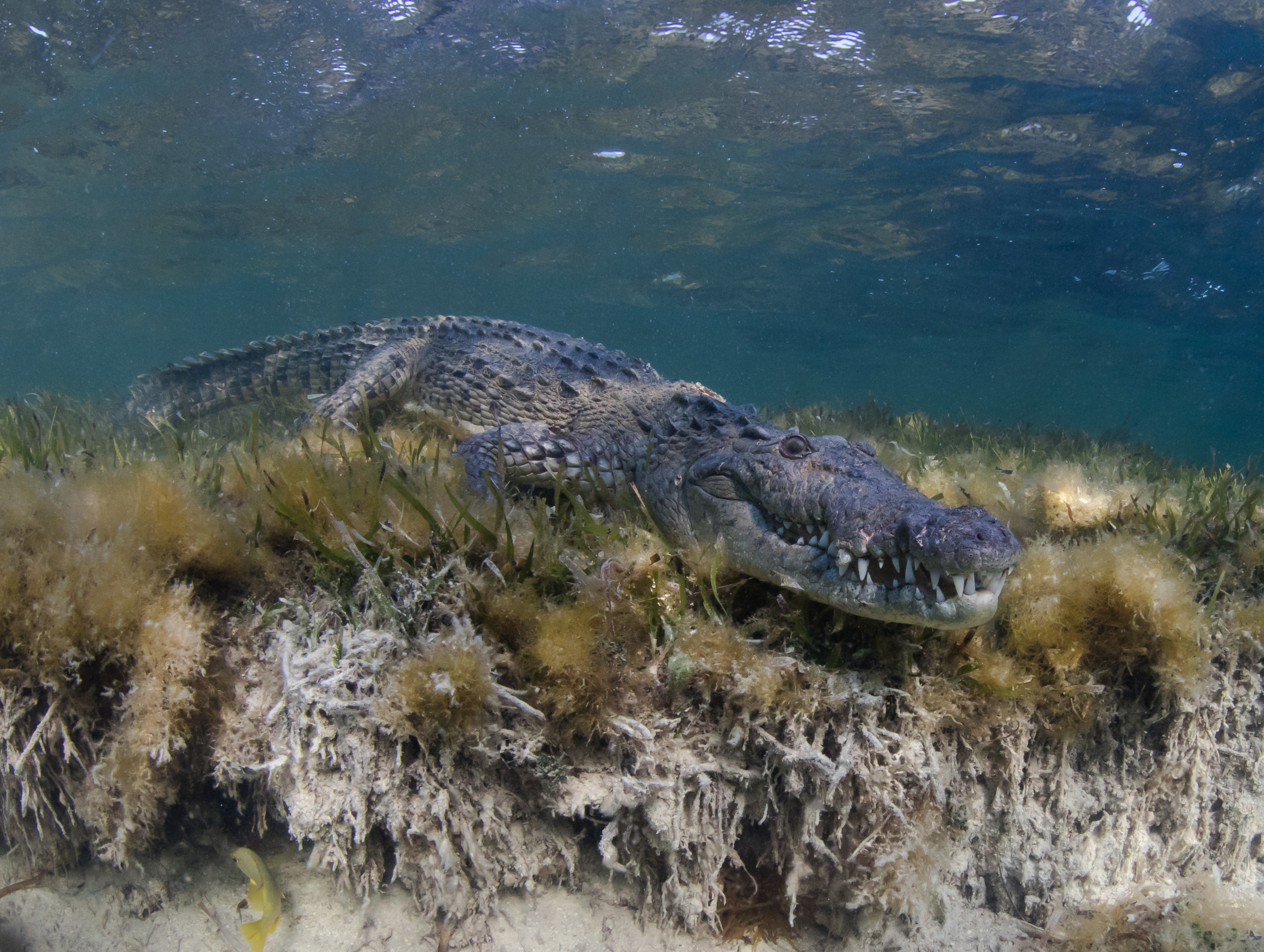 crocodile in CHINCHORRO BANKS, MEXICO credit: phillip hamilton / coral reef image bank