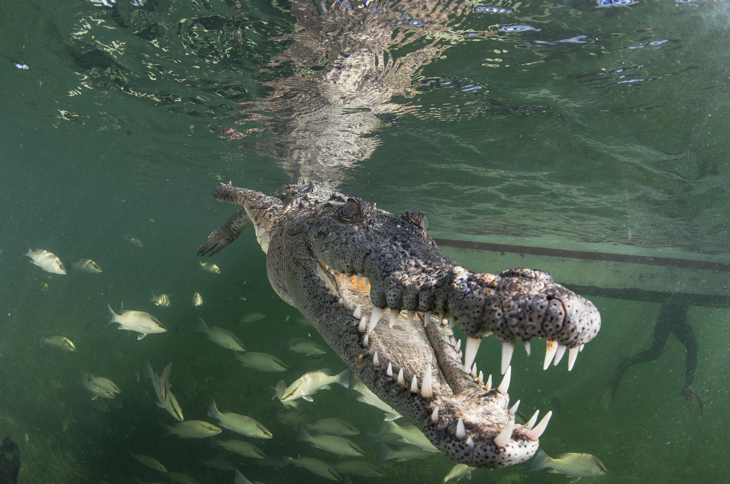 crocodile in cuba credit: jayne jenkins / coral reef image bank