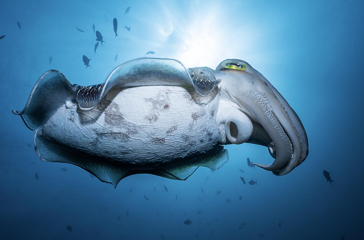 cuttlefish  credit: François Baelen / coral reef image bank