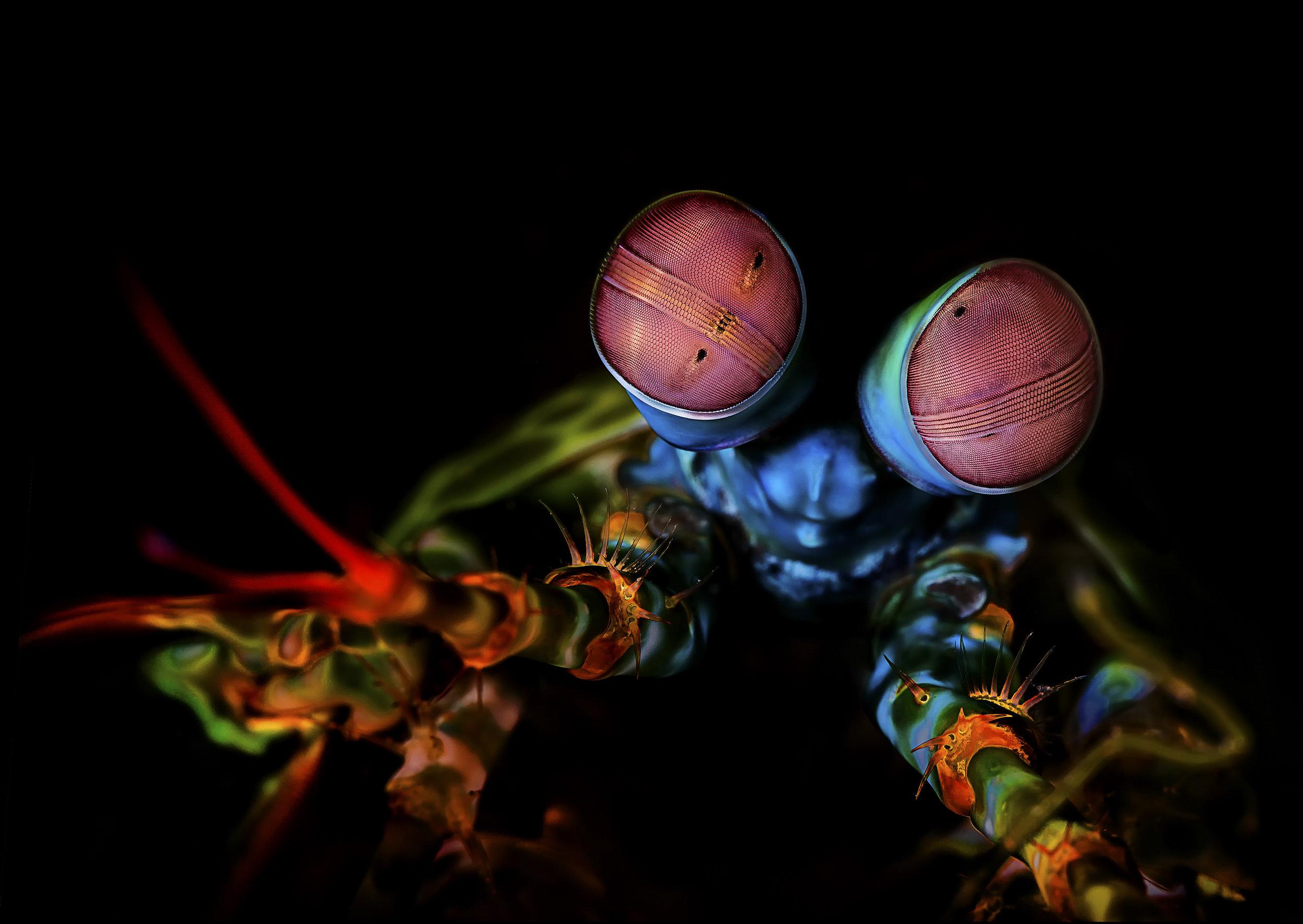 mantis shrimp credit: beth watson / coral reef image bank