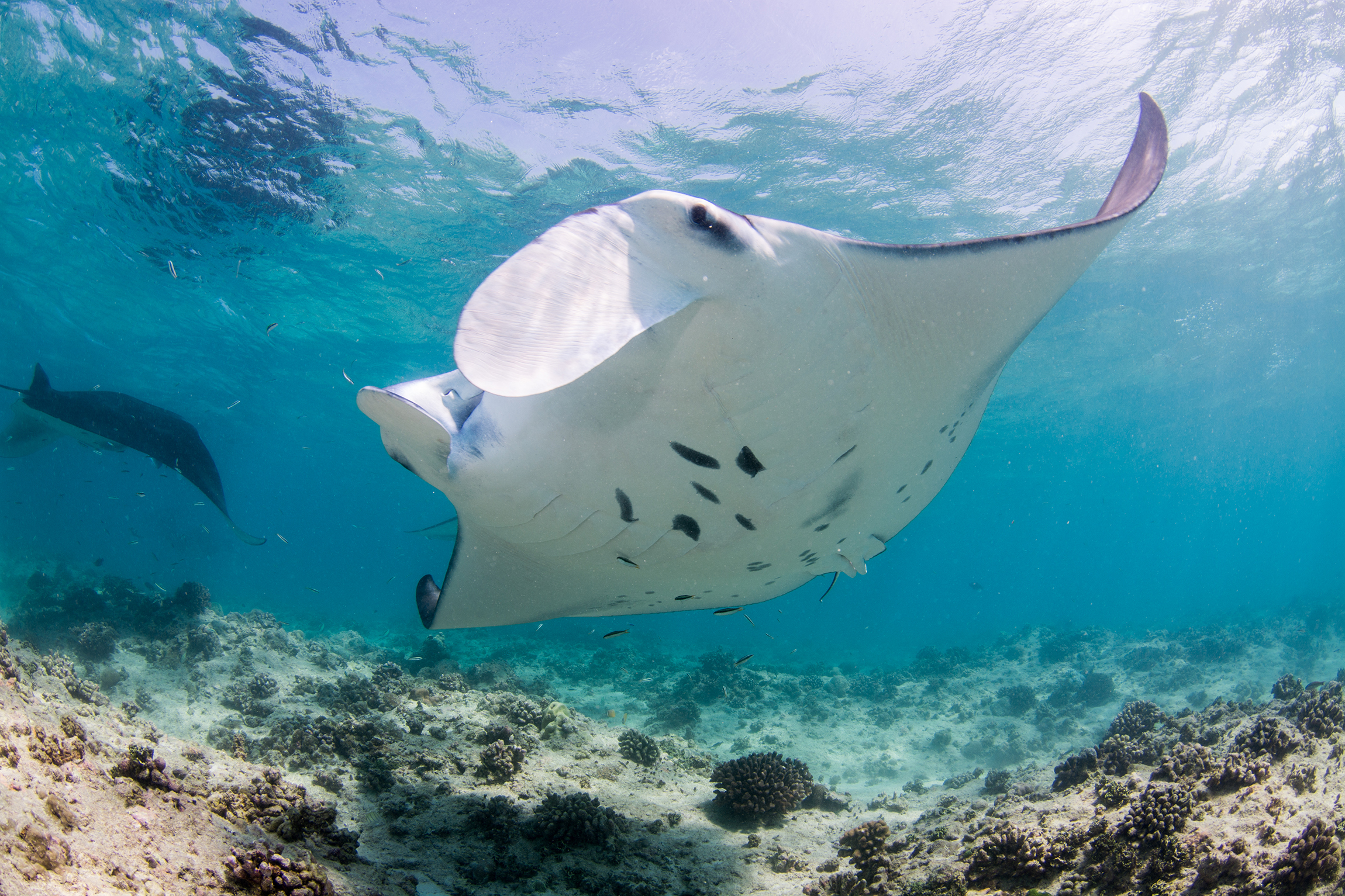 Manta Rays in the Maldives Credit: Simon Hilbourne / Coral Reef Image Bank
