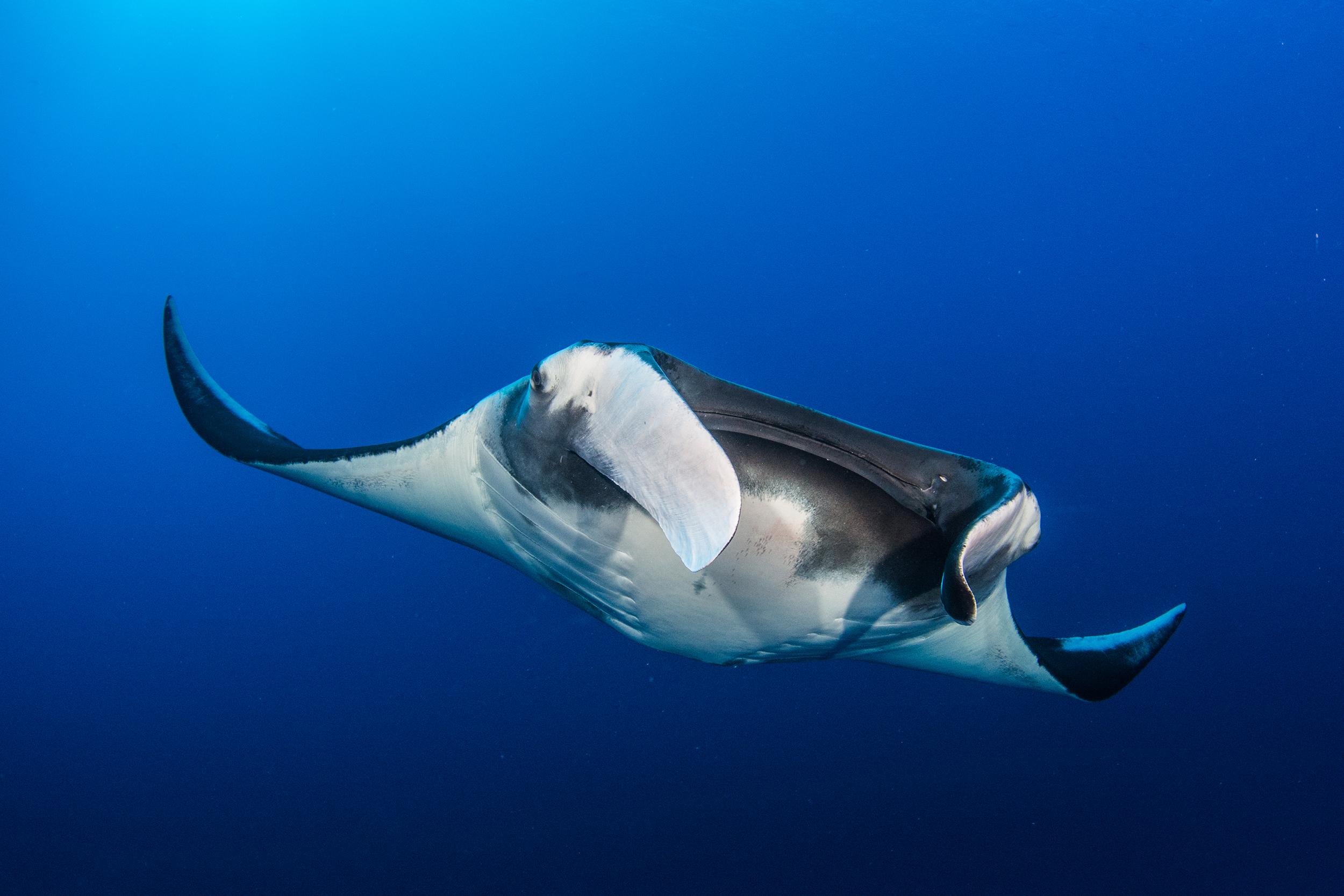 Manta In the Maldives Credit: Simon Hilbourne / Coral Reef Image Bank