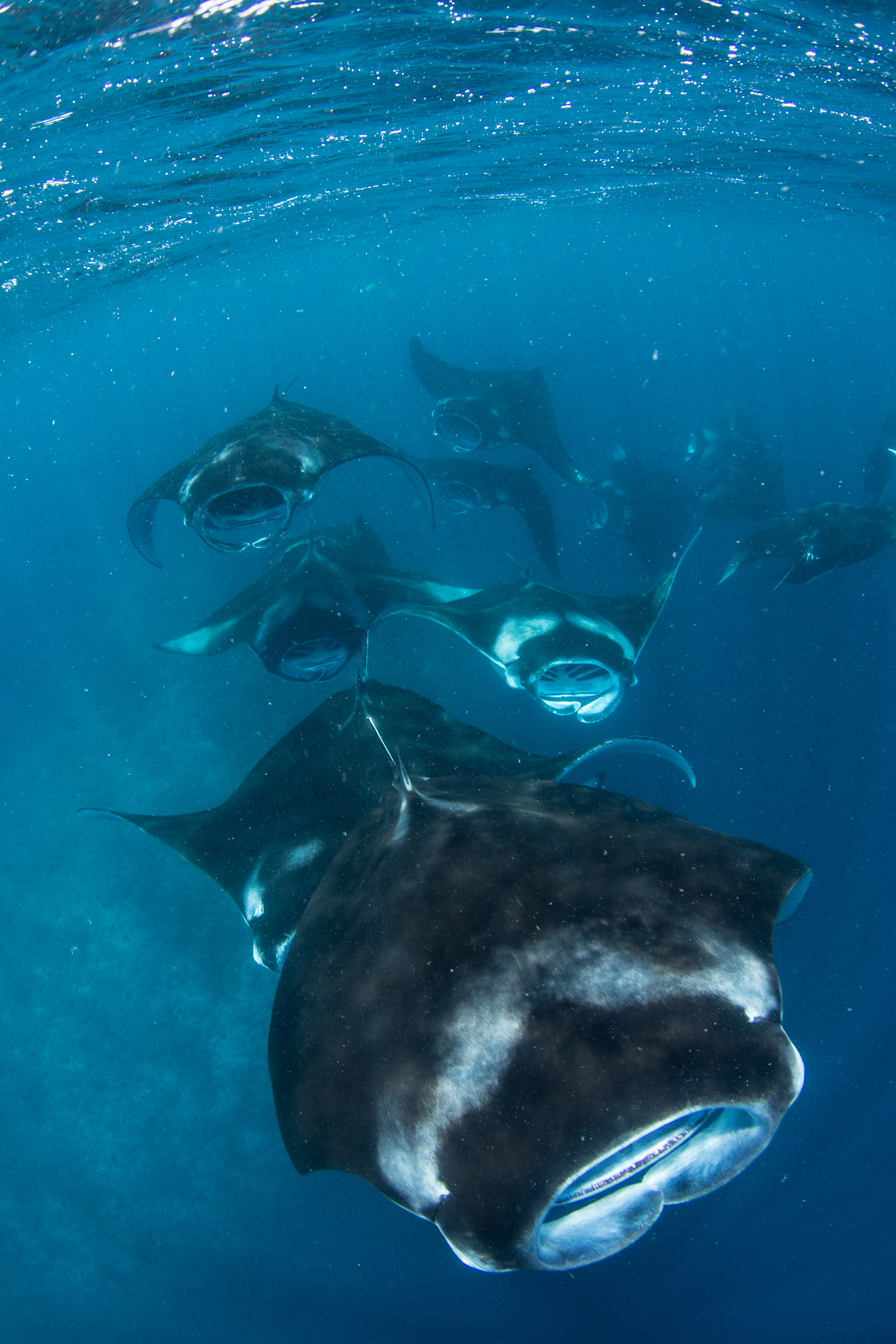 Mantas Mass Feeding in the Maldives Credit: Simon Hilbourne / Coral Reef Image Bank