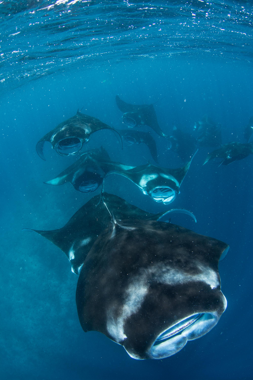 Mantas Mass Feeding in the Maldives Credit: Simon Hilbourne / Coral Reef Image Bank