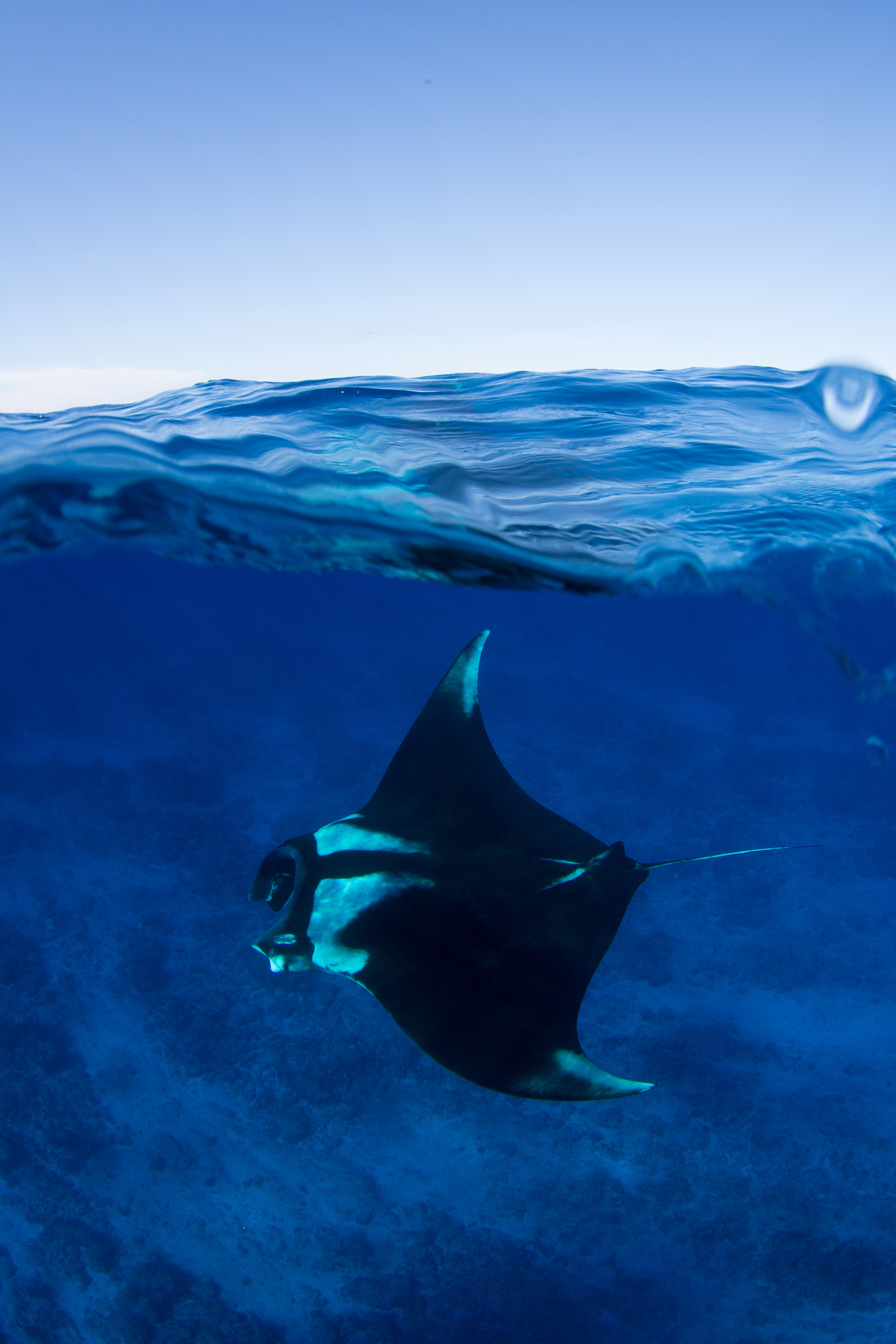 Oceanic Manta Ray Credit: Simon Hilbourne / Coral Reef Image Bank