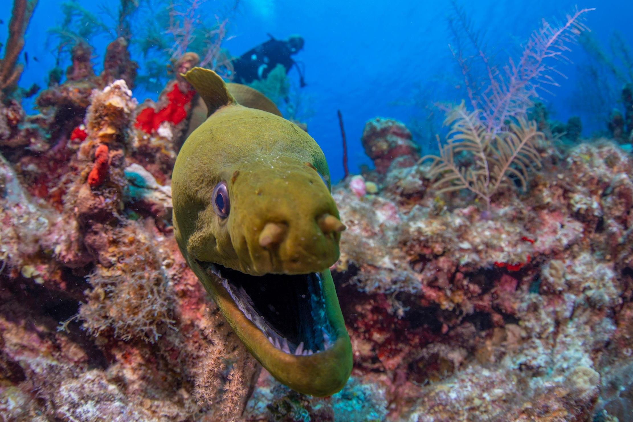 moray IN CAYMAN ISLANDS credit: JASON WASHINGTON / coral reef image bank