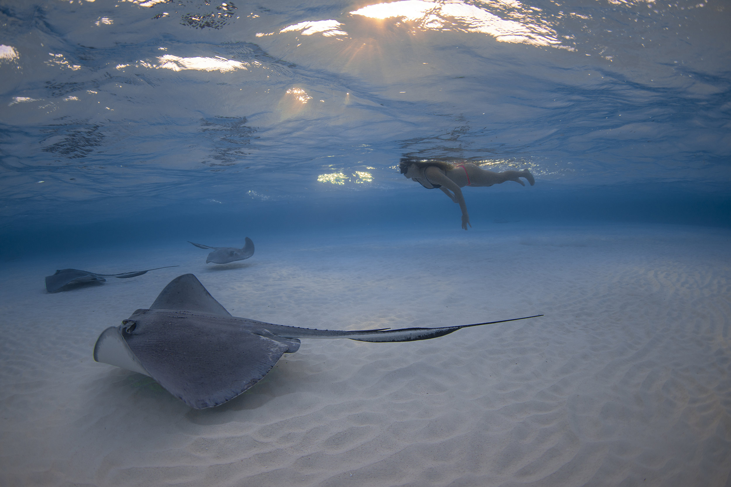 southern rays with freediver in cayman islands Credit: Jason Washington / Coral Reef Image Bank