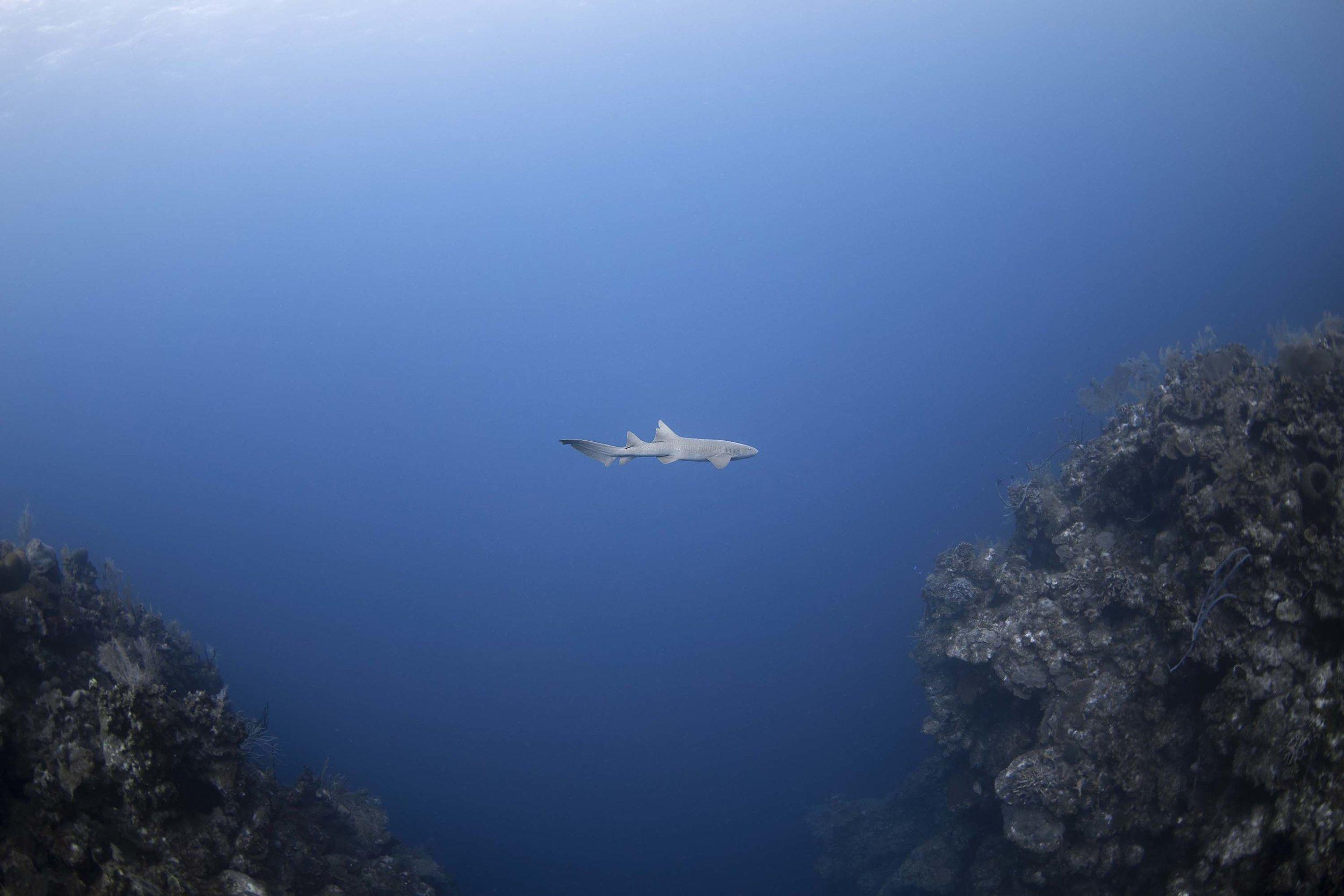 Shark in Cayman Islands Credit: Jason Washington / Coral Reef Image Bank