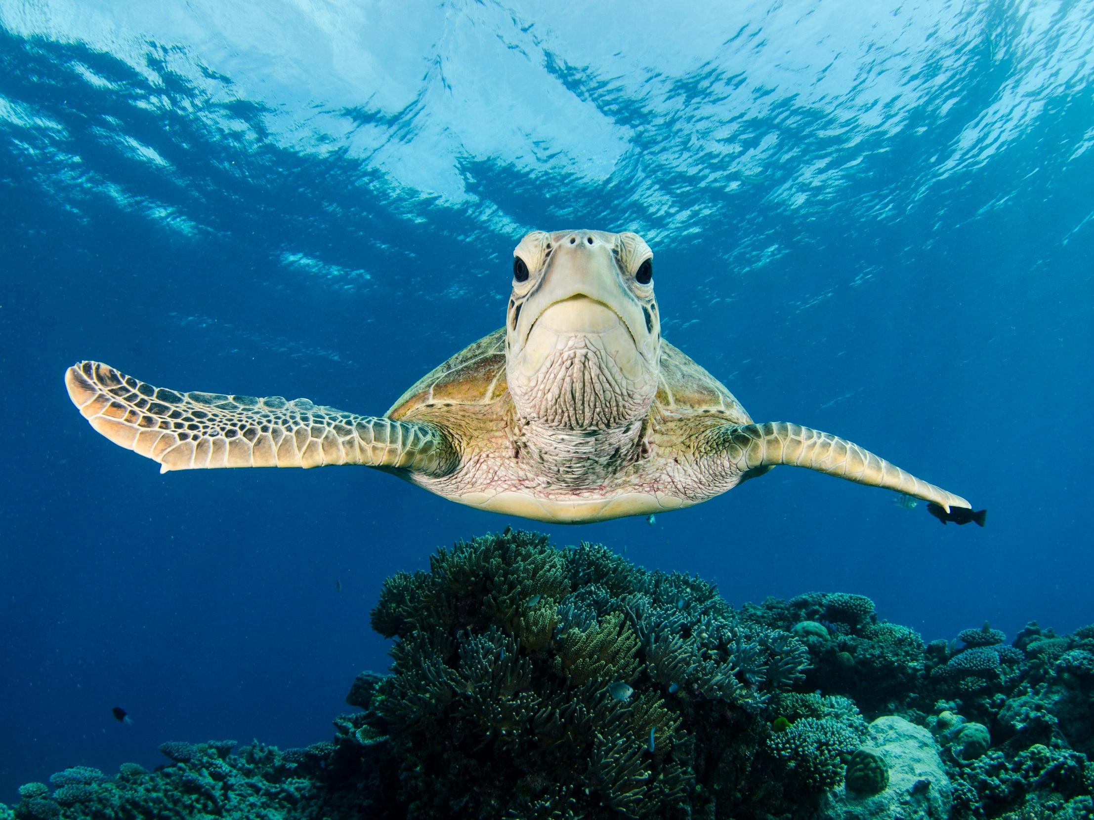 turtle credit: Amanda cotton / Coral reef image bank
