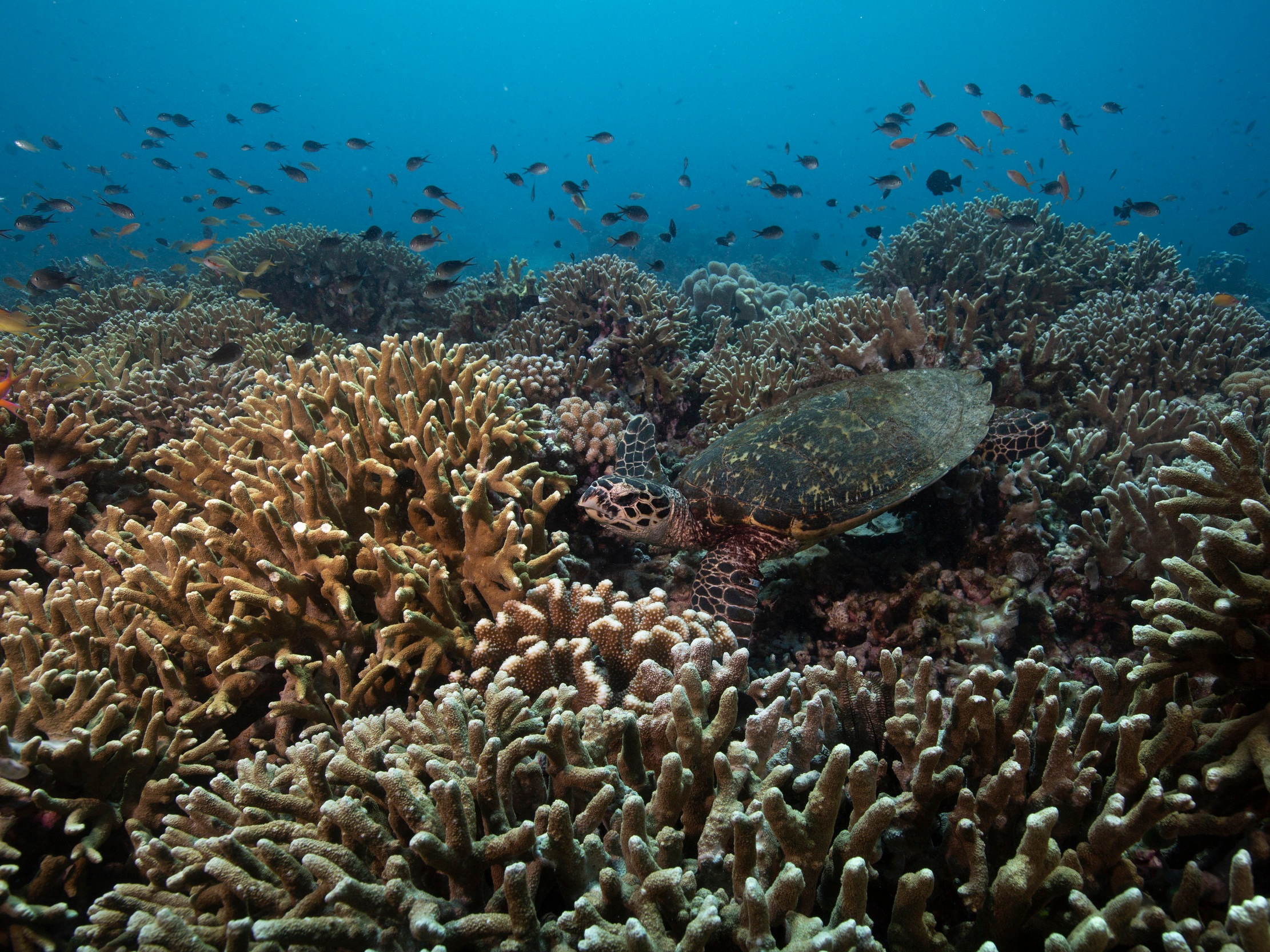 TURTLE IN THE PHILIPPINES CREDIT: RICK MISKIV / coral reef image bank