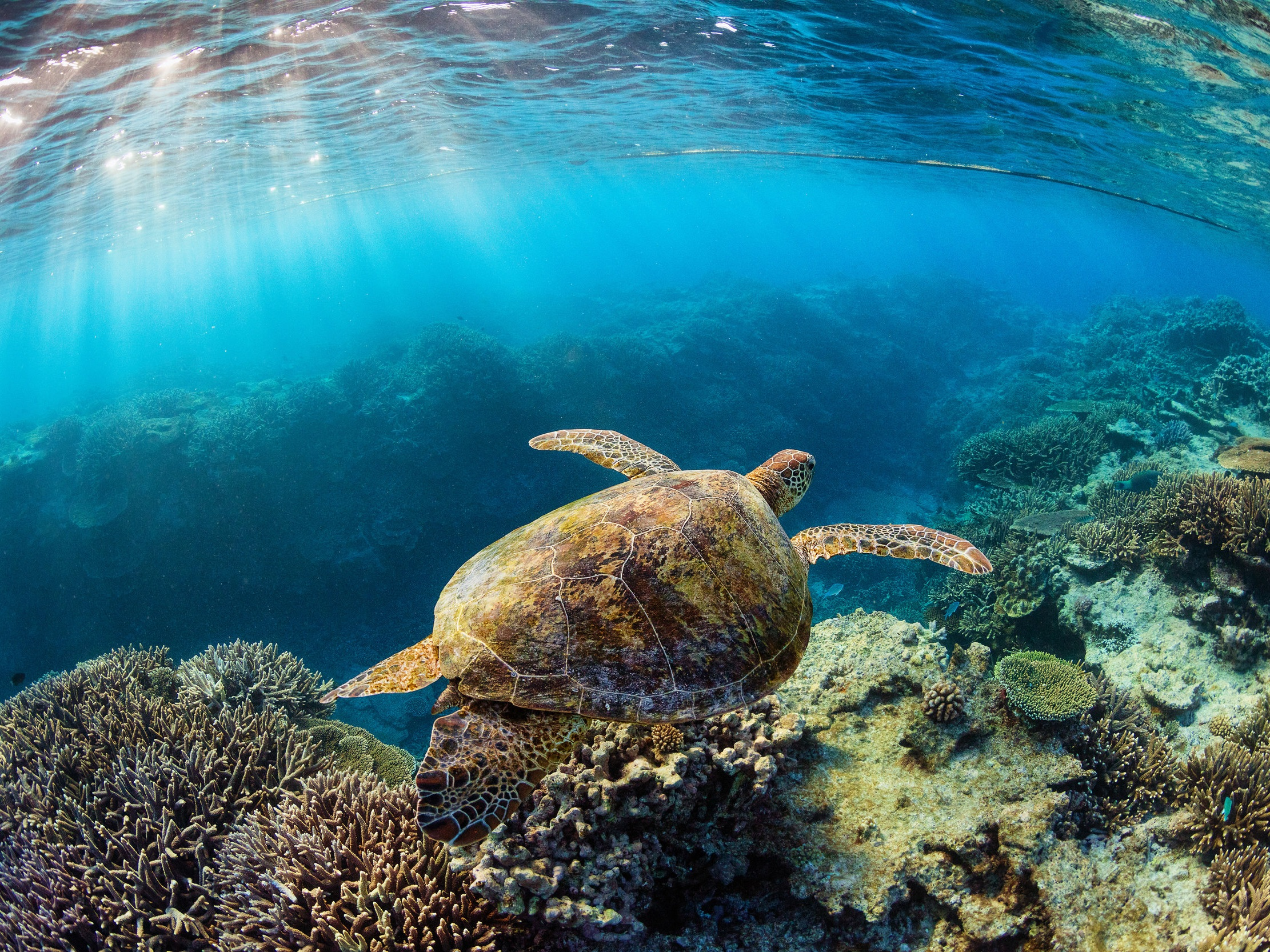 TURTLE IN GBR  CREDIT: JORDAN ROBINS / coral reef image bank