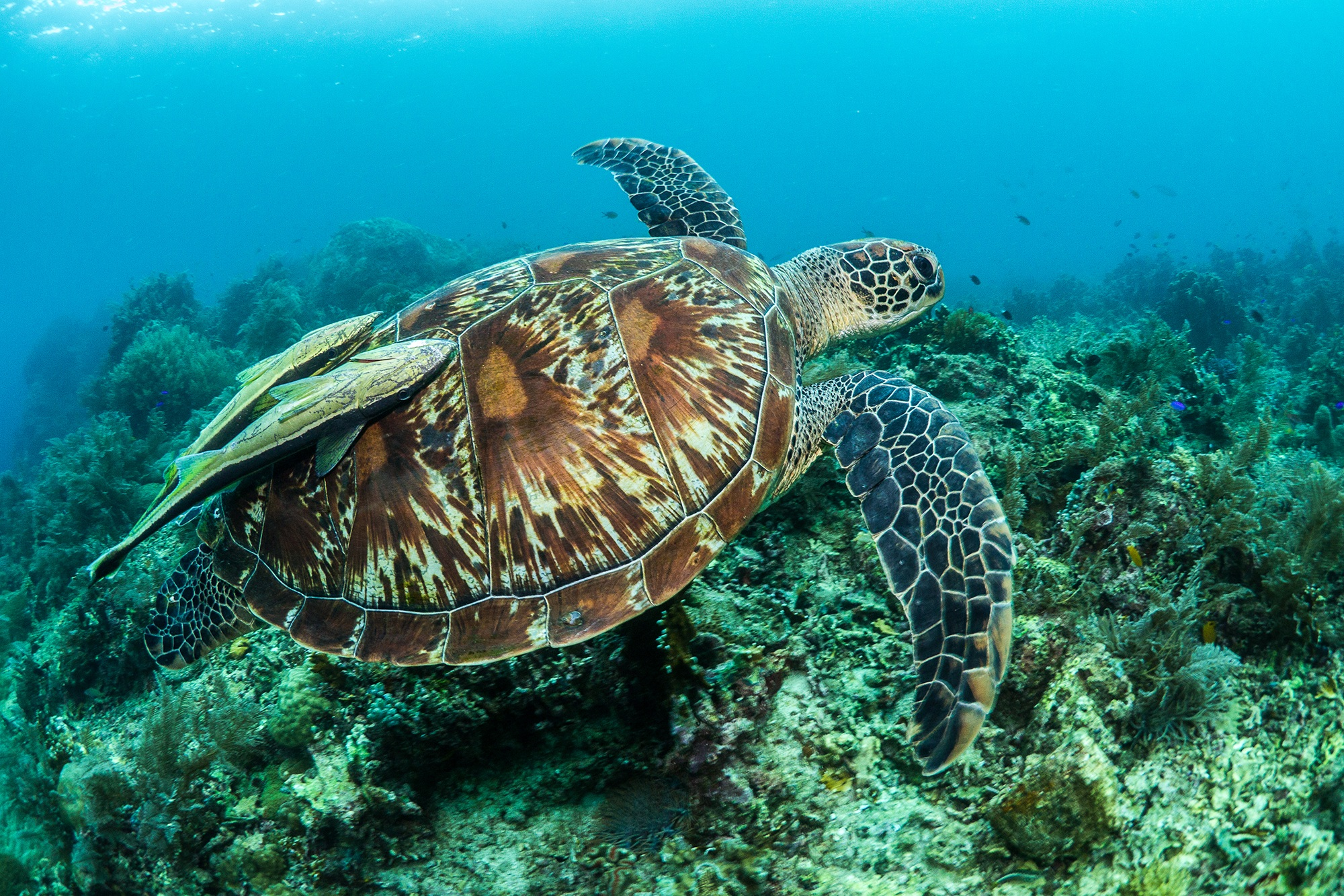GREEN TURTLE IN THE PHILIPPINES CREDIT: SIMON J. PIERCE/ coral reef image bank