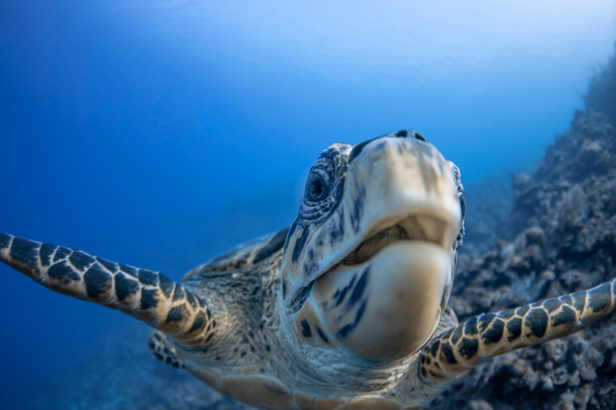 Turtle in the cayman islands CREDIT: Jason Washington / Coral Reef Image Bank