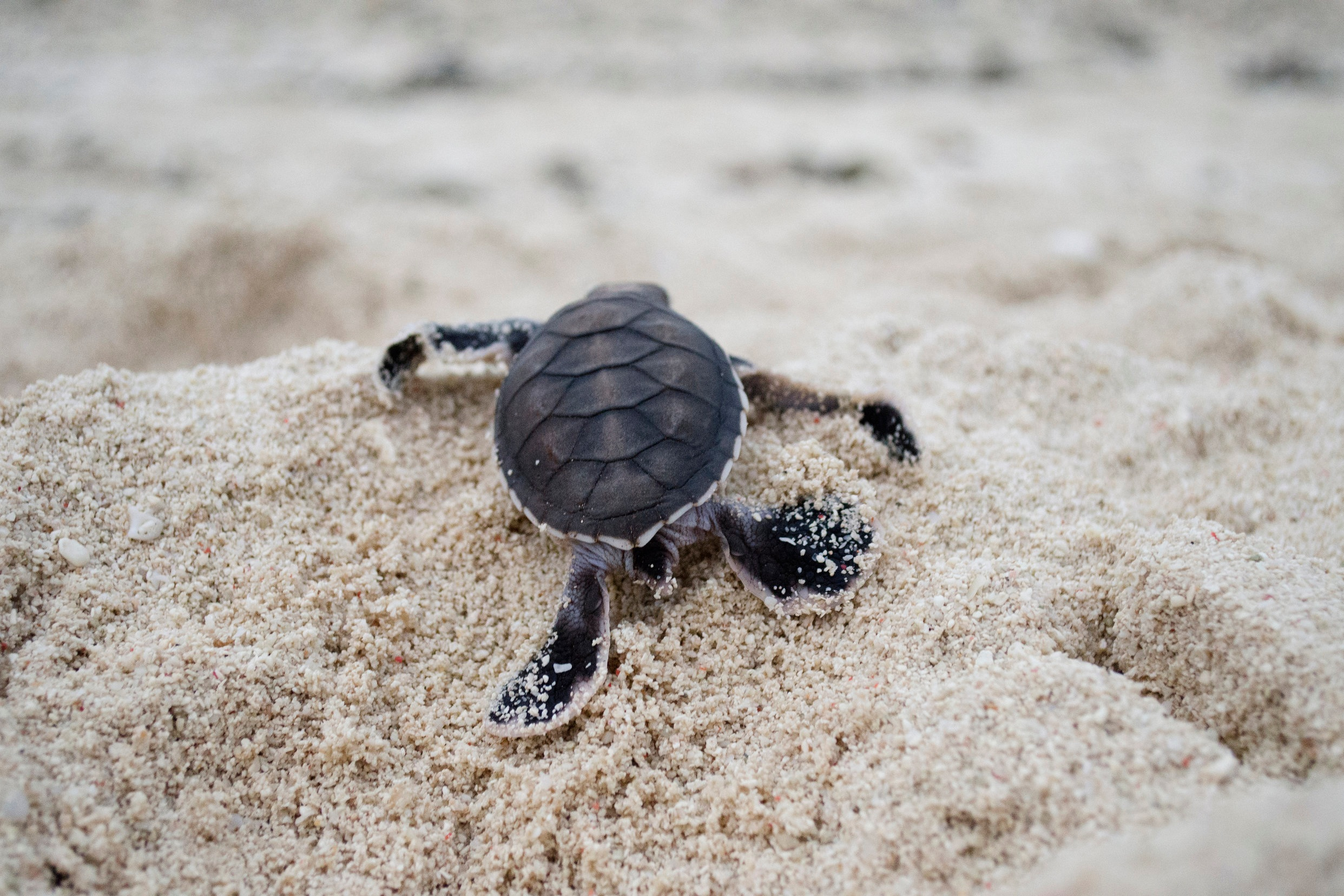 TURTLE HATCHLING, NEW CALEDONIA CREDIT: THE OCEAN AGENCY / coral reef image bank