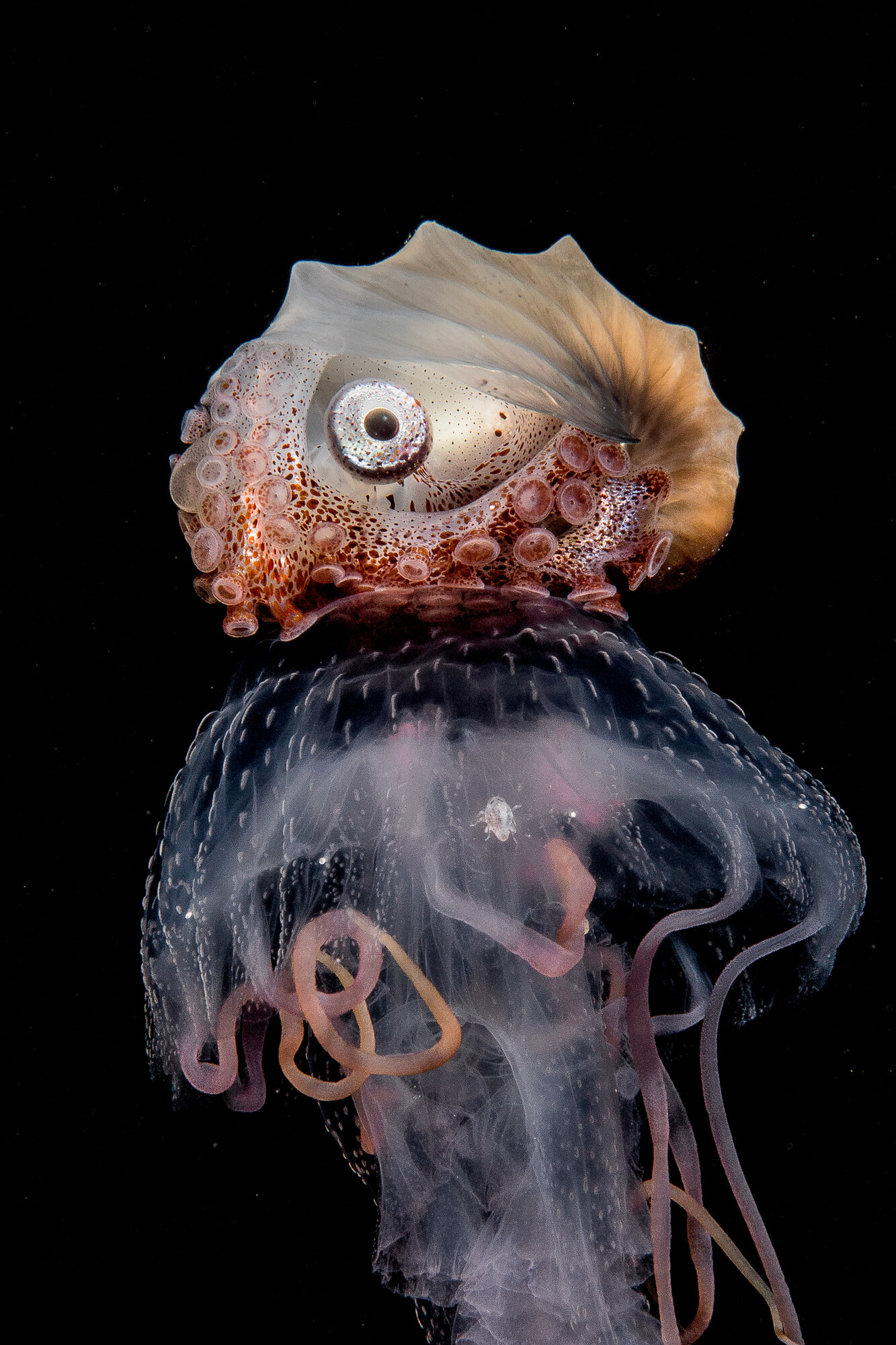 Jellyfish and Nautilus Credit: Mike Bartick / Coral Reef Image Bank