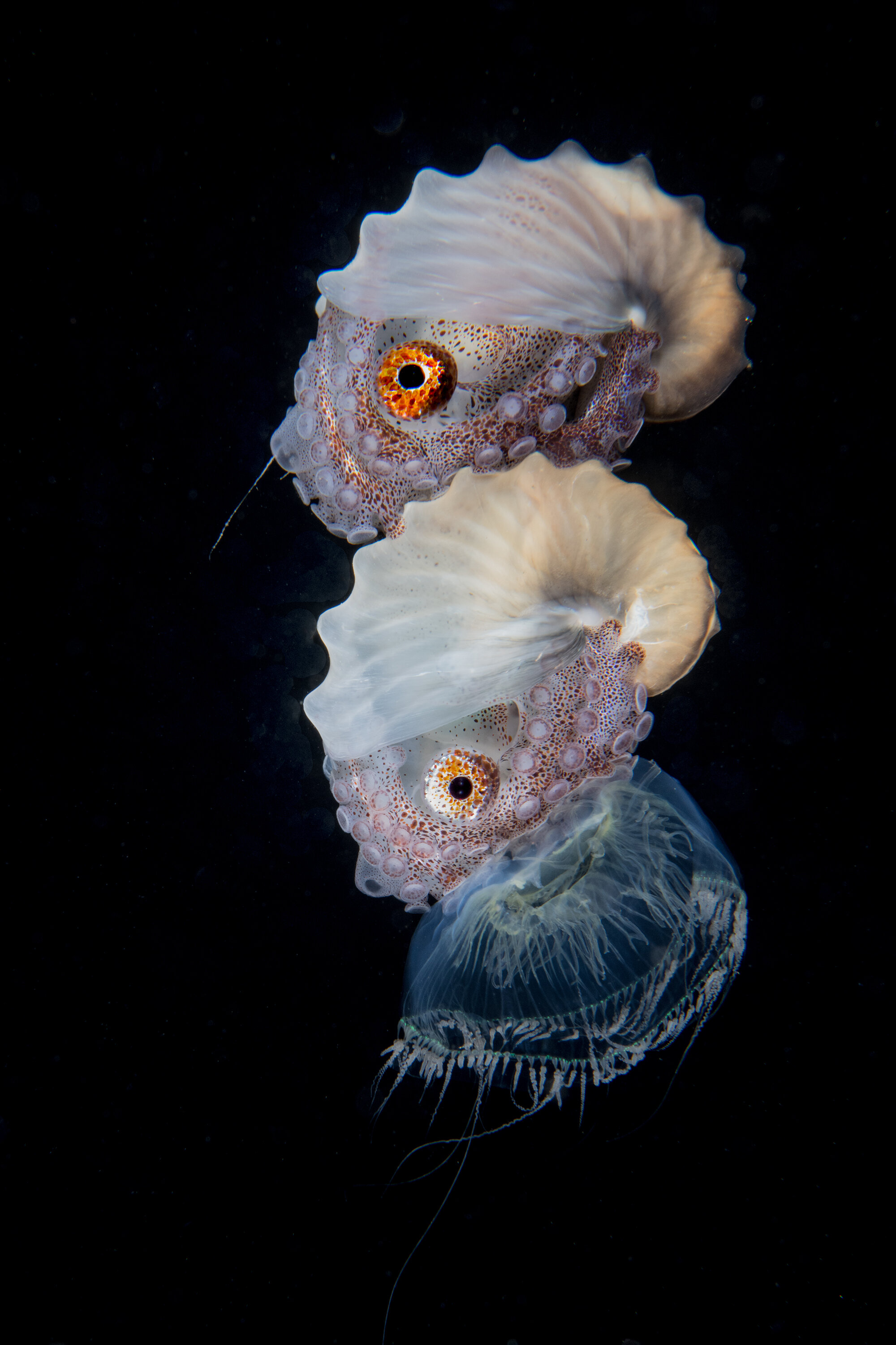 stacked nautilus and jellyfish Credit: Mike Bartick / Coral Reef Image Bank