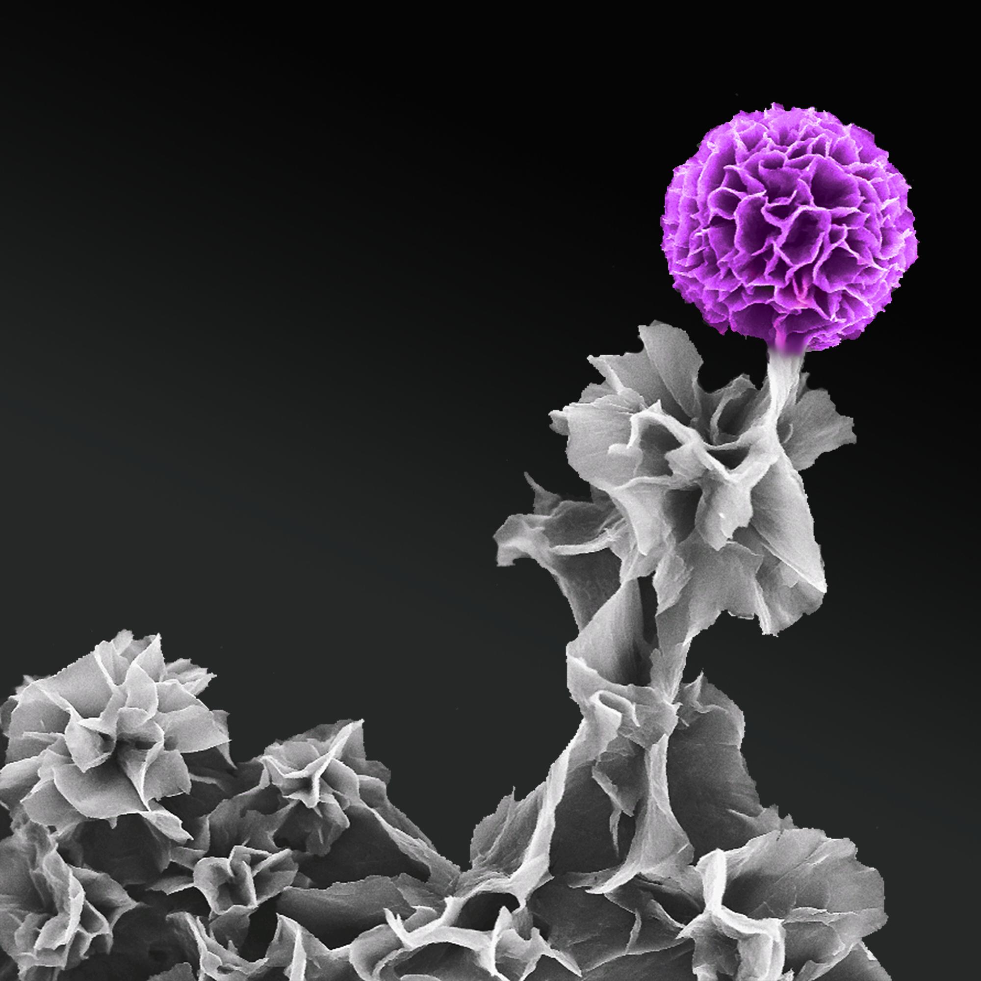 1. Tetraaniline in full bloom